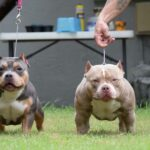 Best American Bully Dog Breeds