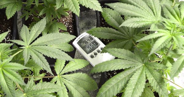 Ideal Temperature For Marijuana Plants
